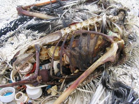 Kure Laysan Carcass
